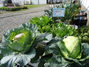2014キャベツ白菜ブロッコリーDSC03533_R